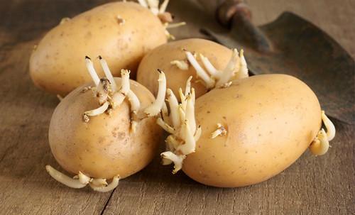 10, Khoai tây mọc mầm 1