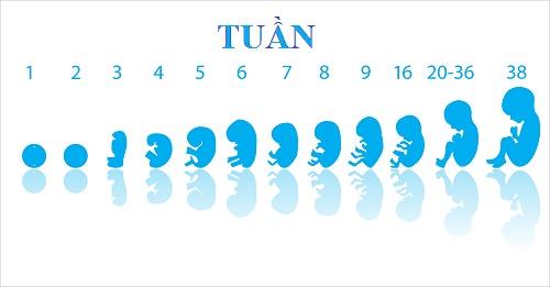 Sự phát triển của bào thai trong giai đoạn sớm 1