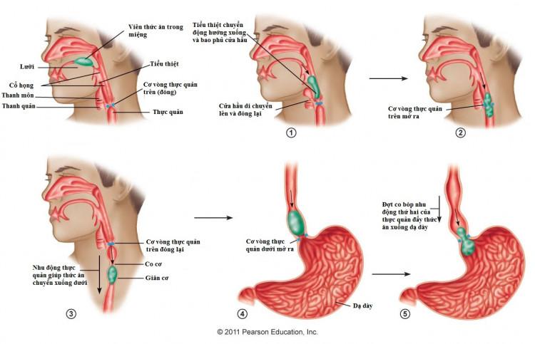 Quy trình nuốt tự nhiên của cơ thể 1