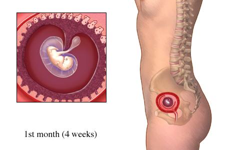 Sự phát triển của thai nhi trong tháng đầu mang thai 1