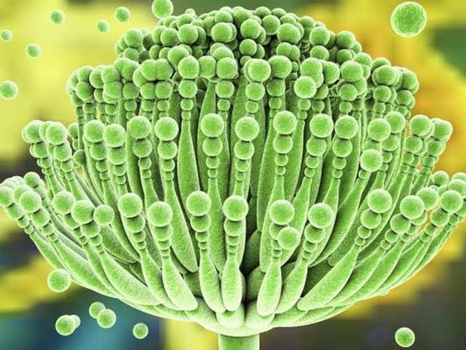 Ngộ độc nấm mốc aflatoxin khi mang thai 1